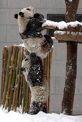 Boosting Panda Bears