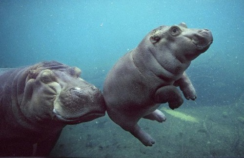 Mom with baby hippo