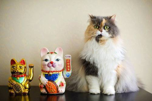 Cat beside two Maneki Neko figurines